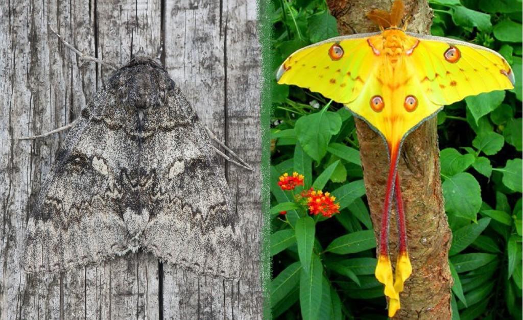 Бабочка серая и бабочка яркая