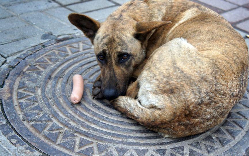 Печальная собака лежит на люке, перед ней сосиска, но она хочет быть домашней