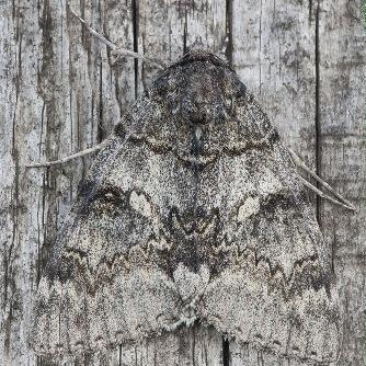 Ночная бабочка серая мимикрия