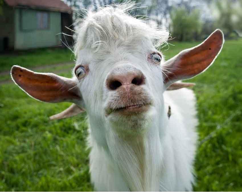 Белый козел смотрит в камеру