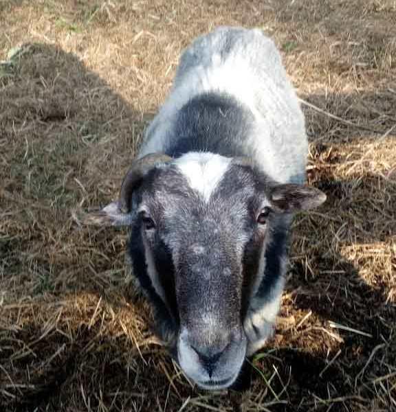 Овца смотрит в объектив камеры