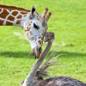 Логотип курса Искусство общения - дружба жирафа и страуса - символ успешного общения совершенно разных личностей